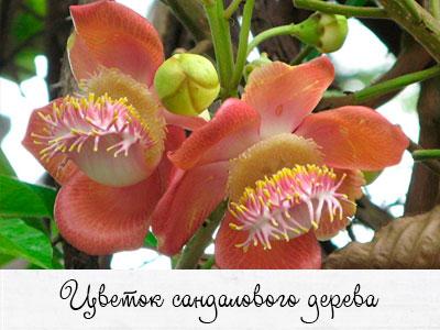 sandalovyi-cvetok